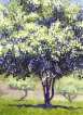 Flowering hawthorn, watercolour, guache, spring, forår, forsommer, early summer